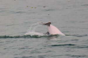 (攝影海豚哥哥) 懷孕的粉紅母豚