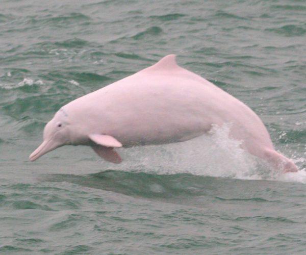 Dolphin_by_海豚哥哥Thomas_0001